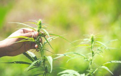 Le marché du cannabis est légal en France