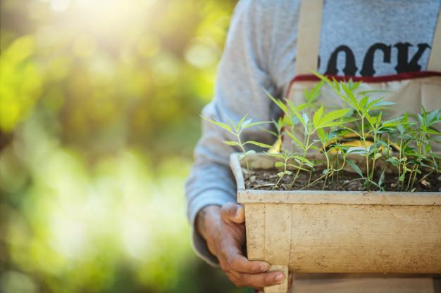 Comment réussir sa production de cannabis?